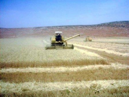Amik Ovası'nda buğday hasadı başladı