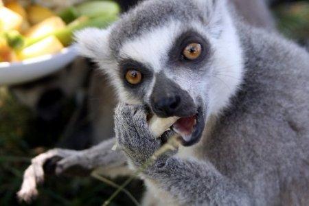 Ayılar karpuz, lemurlar meyve salatası ile serinliyor