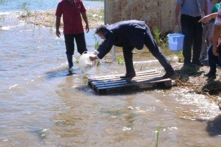 Eğirdir Gölü'ne 500 bin sazan yavrusu salındı