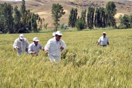 Gıda, Tarım ve Hayvancılık Müdürlüğü ekipleri süne mücadelesini sürdürüyor