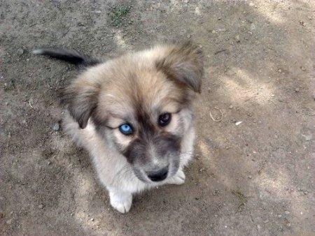 Gözleri farklı renkli köpek görenlerin dikkatini çekiyor