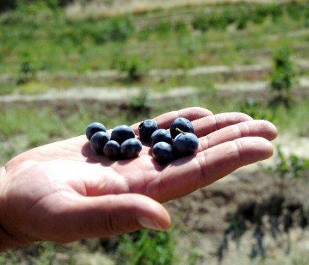 İlaç ve gıda sanayinin yeni gözdesi yabanmersini