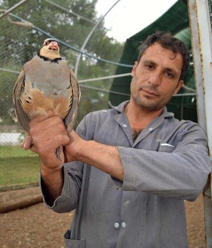 Kahramanmaraş'ta üretilen keklikler Türkiye genelinde doğaya salınıyor