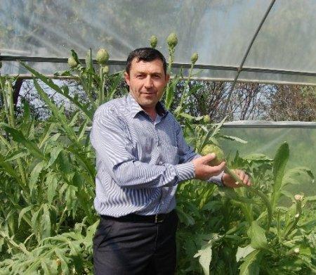 Merzifonlu azimli çiftçi serada enginar yetiştirmeyi başardı