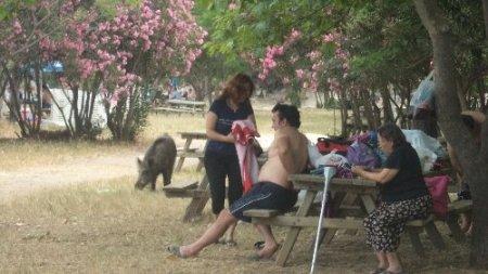 Milli parkta domuzlar piknikçilerin arasında dolaşıyor