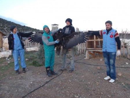 Nesli tükenmek üzere olan kara akbaba, Lisinia'da