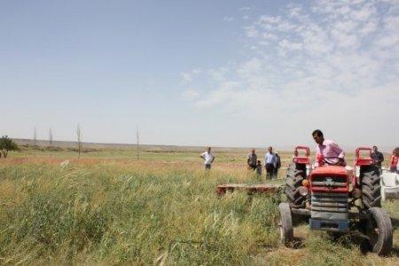 Nevşehirli çiftçiler Macar fiği ile üç katı verim yakaladı