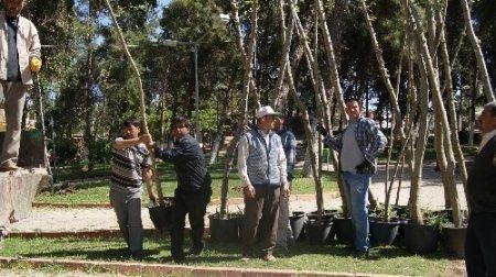 Reyhanlı'da 967 çınar ağacı dikildi