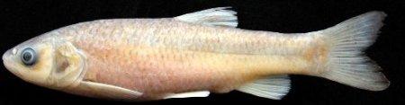 RTEÜ'de 3 yeni balık türü keşfedildi