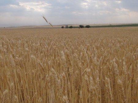 Tahıl hasadına başlandı, çiftçiler rekolte sevinci yaşıyor