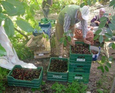 Uluborlu'da kiraz hasadı başladı, 7 bin ton rekolte bekleniyor