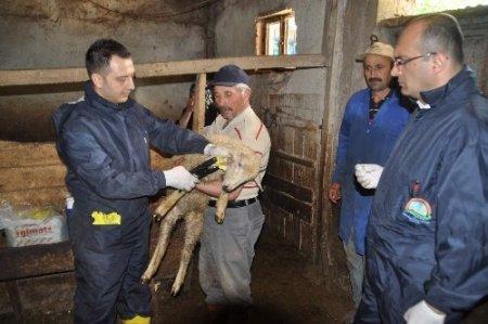 Yozgat'ta 200 bin küçükbaş hayvana veba aşısı yapılacak