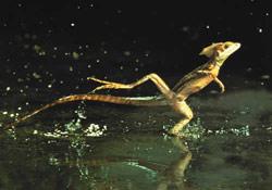 Suyun üstünde koşabilen kertenkele