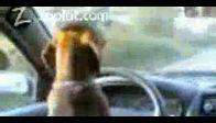 araba kullanan köpek !!!