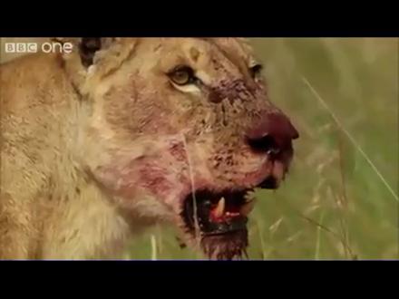Aslanların Yemeğini Alan Korkusuz Yerliler