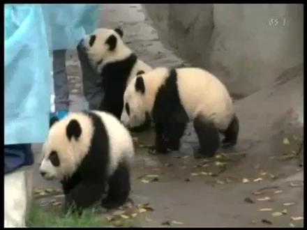 Pandalar İçin Süt Zamanı