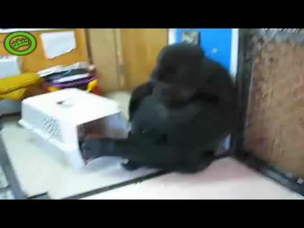 Kedi Aşığı Goril