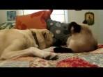 Kedi Köpek Boks Maçı